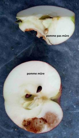 Maturité pommes